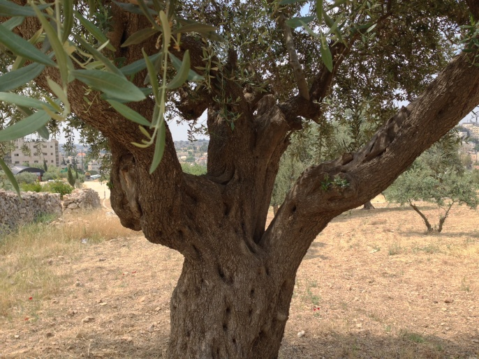 "The tree was actually in the shape of the Hebrew letter, ""shin""."